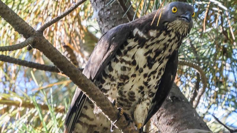 L'au rapinyaire Pernis apivorus és un possible mètode de control natural de l'avespa asiàtica