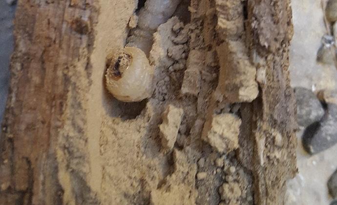 Plaga madera