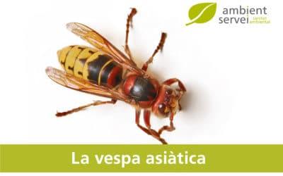 La vespa asiàtica. Què hem de saber?